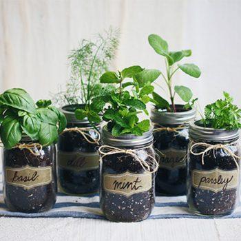 Mighty green thumb, herbs in jars